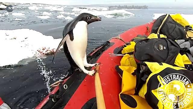 Wenn Pinguine unsere Lachmuskeln strapazieren