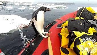 Ein Pinguin, der plötzlich in ein Boot hüpft, geht gerade viral. Nicht der einzige seiner Artgenossen.