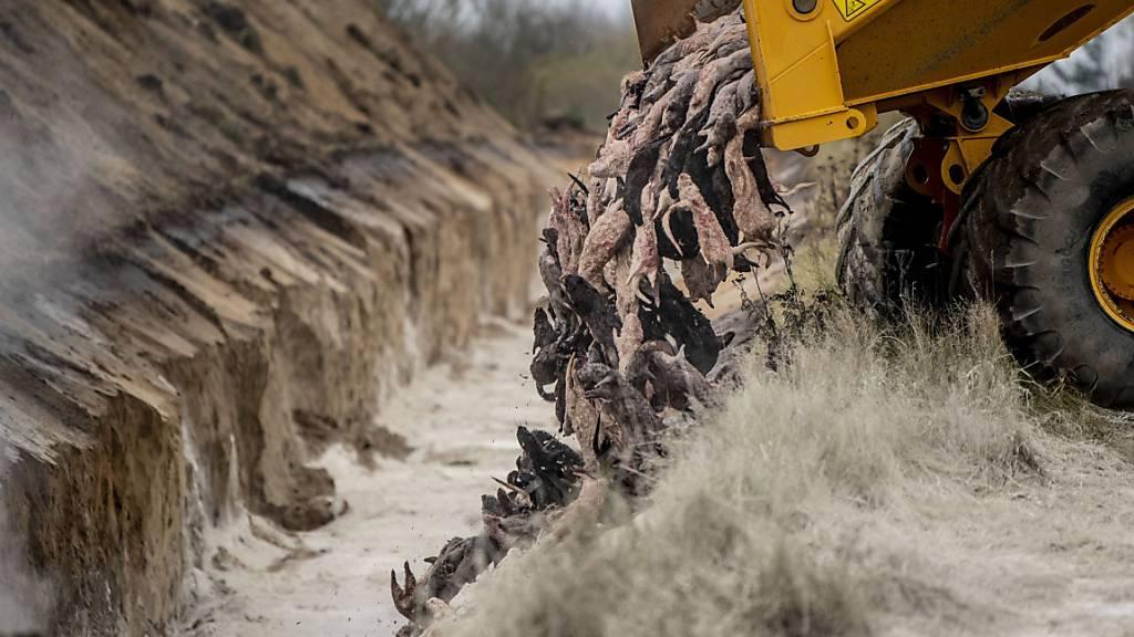 Gekeulte Nerze werden ausgegraben und bis Juli verbrannt