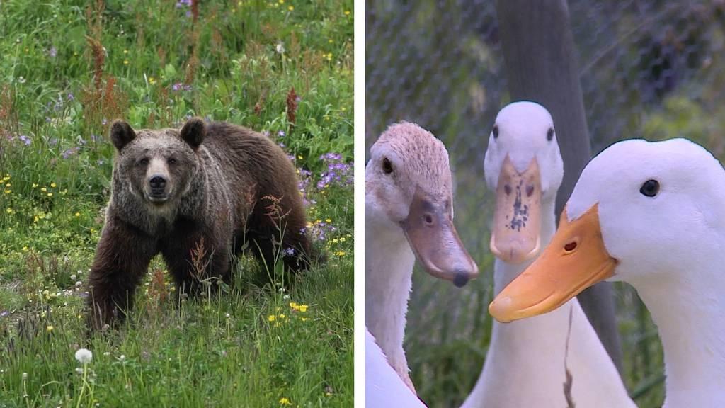 «Jambolina» – ein bewegtes Bärenleben / Enten zum Mieten