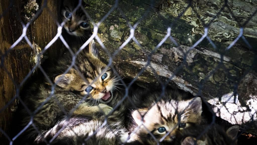 Geburt von Wildkatzen in Waadtländer Tierpark