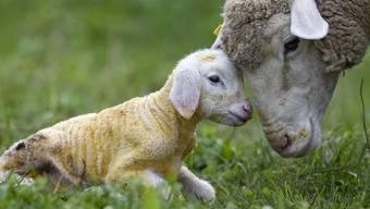 Den meisten Schafen und anderen Nutztieren geht es im Kanton Aargau gut. (Symbolbild)