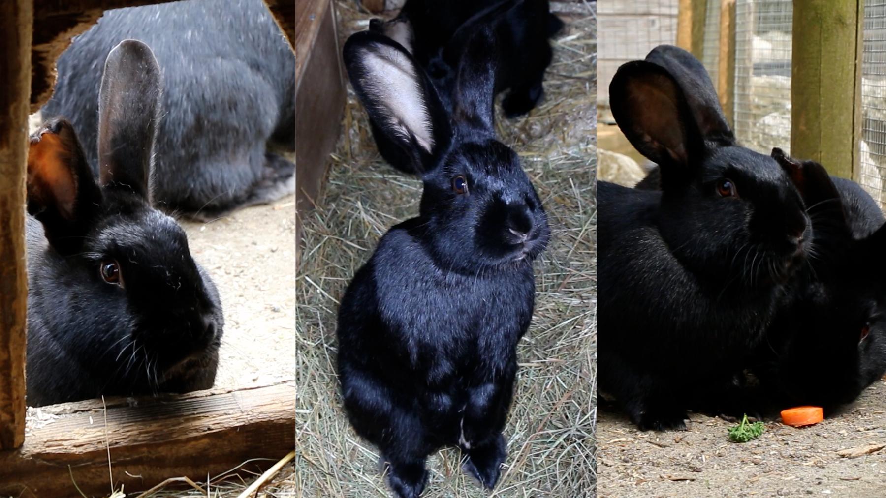 Kaninchen Dimitri, David und Dennis