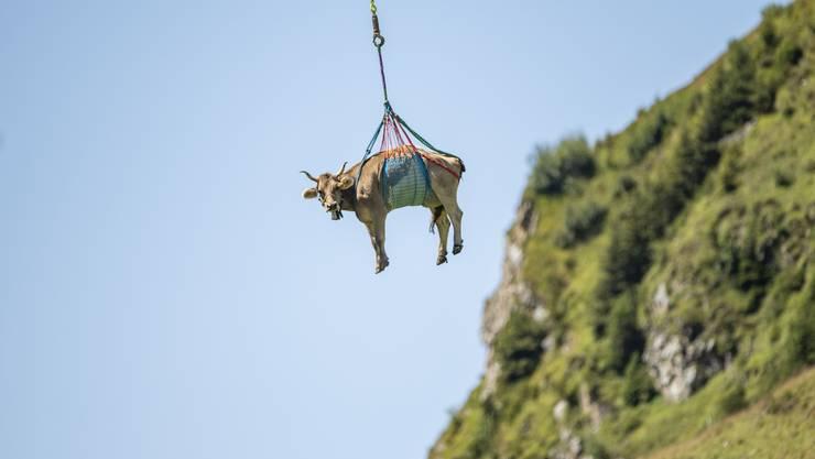 Eine leicht verletzte Kuh wird wegen Untauglichkeit zum Alpabzug vom Klausenpass mit dem Helikopter ausgeflogen.