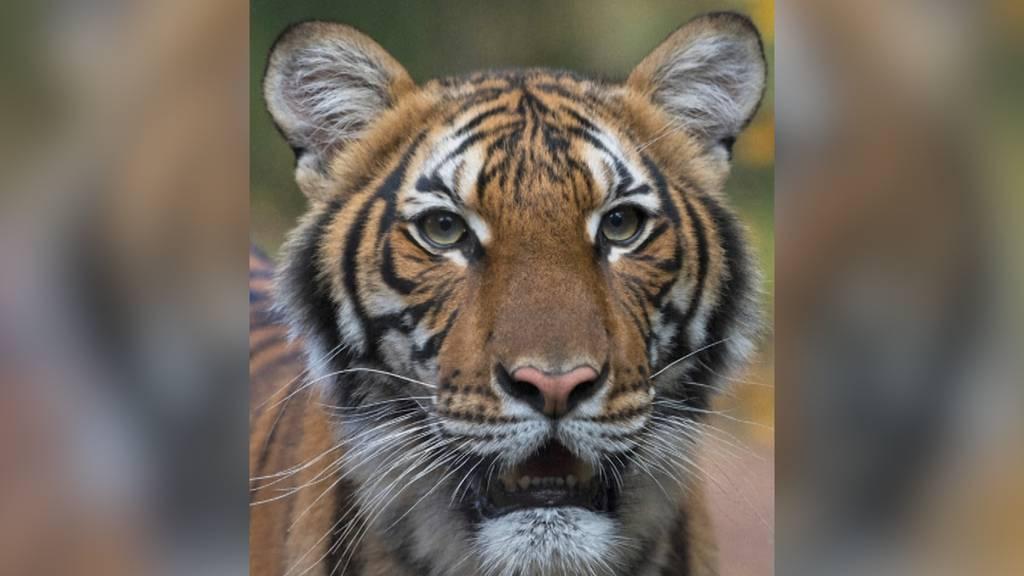 Tiger in New Yorker Zoo positiv auf Coronavirus getestet