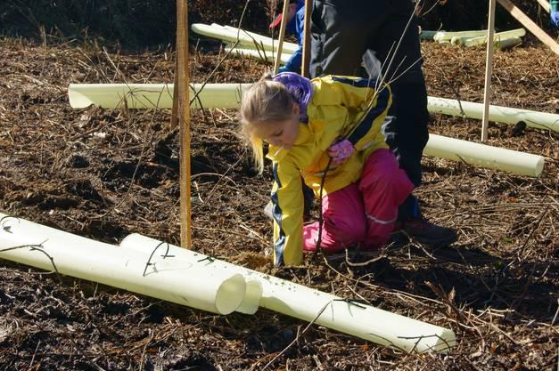 Mona König pflanzt eine junge Eiche. Mit einem Tupex-Rohr wird der Baum anschliessend geschützt.