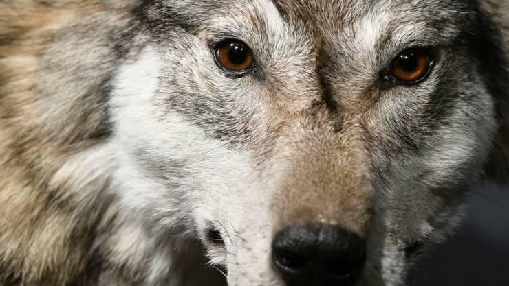 Der Wolf in der Bündner Herrschaft litt an einer Hirnentzündung. Es handelt sich um den ersten Befund dieser Art in der Schweiz (Symbolbild)