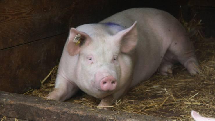 Ja oder Nein: Bünzen entscheidet morgen, ob in der «Pfaffematte» ein neuer Schweinemaststall für 880 Tiere zulässig ist. (archiv/Ph)