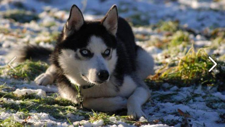 Husky Lycos wird immer noch vermisst