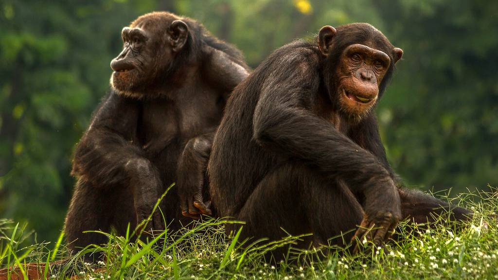 Live bei den Schimpansen, Bernhardinern und Bienen!