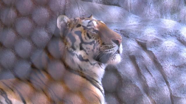 """Nach Todes-Bissen: """"Sayan ist kein böser Tiger."""""""