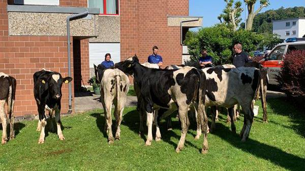 Polizei stoppt ausgebüxte Rinderherde
