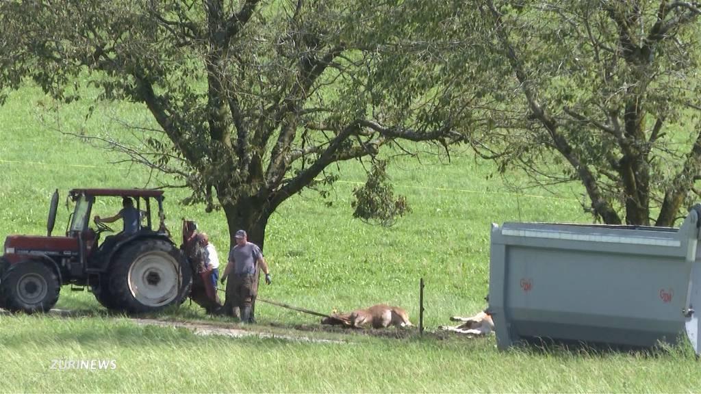 Blitzschlag in Bowil tötet 19 Kühe und Kälber