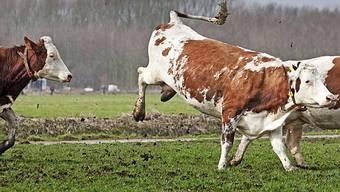 Nur selten sind Kühe angriffig (Symbolbilder)
