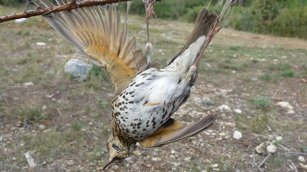 EuGH-Gutachten: Leimrutenfang von Vögeln unter Umständen erlaubt