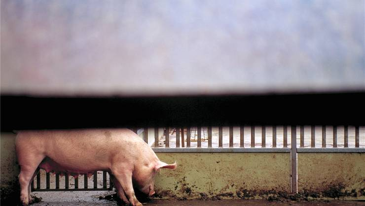 Kommt es in einem Gebiet mit hoher Schweinedichte zu einem Ausbruch der Krankheit, kann es zu grossen wirtschaftlichen Schäden führen. key