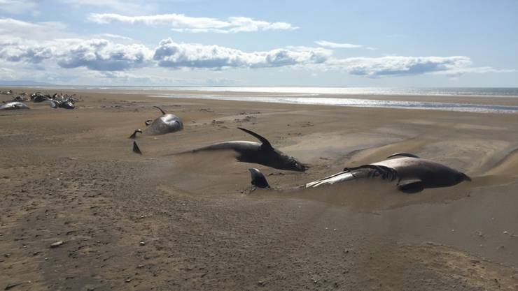 Eine ganze Walherde ist an einem abgelegenen Strand auf der Halbinsel Snaefellsnes nördlich der isländischen Hauptstadt Reykjavik verendet.