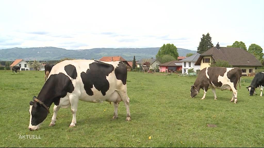 Gleiche Regelung für Kühe und Feiernde: Nachtruhe um 22 Uhr
