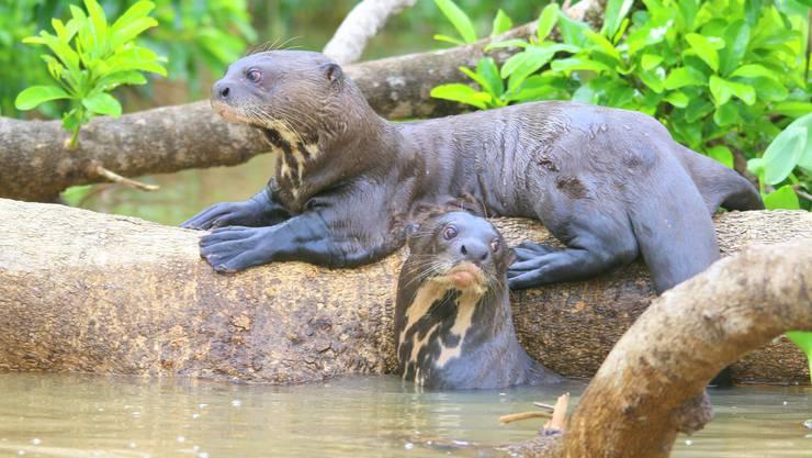 Hier im Pantanal gibt es noch Riesenotter. Bild: Win schumacher