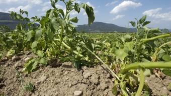 Wo die Landwirte ihre Felder nicht bewässern können, trocknet das Gemüse aus.