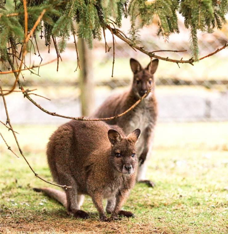 Im Stall im Garten des Ehepaars Gerald und Esther Stampfli leben drei Mini-Kängurus mit Wurzeln in Tasmanien.