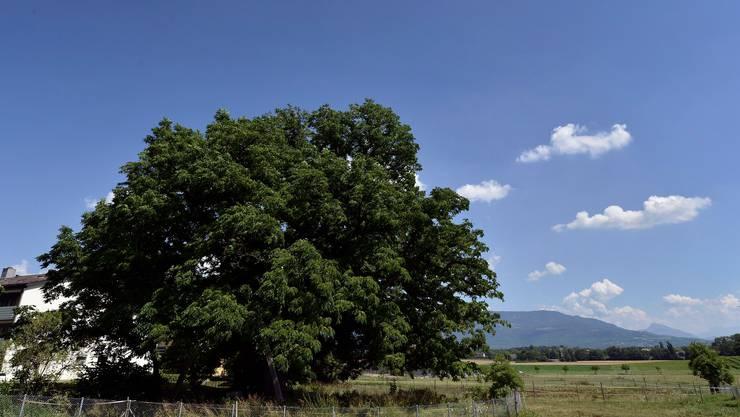 Die Verarbeitung von Baumnüssen zu Öl hat in der Westschweiz eine jahrhundertealte Tradition.
