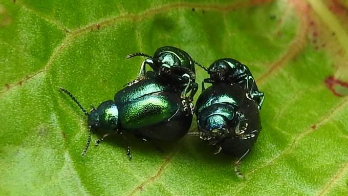 Paarungszeit bei den Blattkäfer