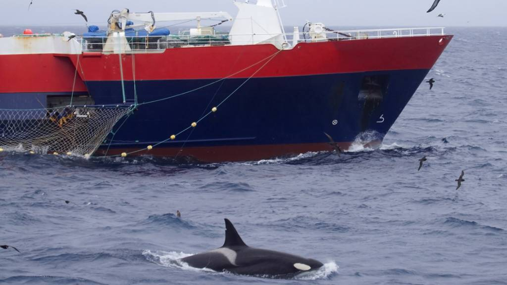 Neuseeland verbietet zum Schutz von Delfinen Treibnetz-Fischerei