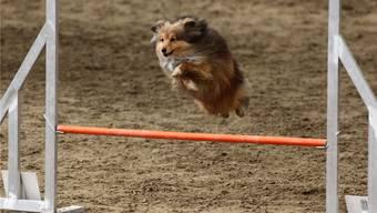 Die Zuschauer bekommen in Härkingen spannende Wettkämpfe für Hunde und Meister zu sehen.