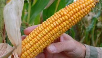 Ein reifer Kolben des umstrittenen Genmais Mon 810 der Firma Monsanto (Archiv)