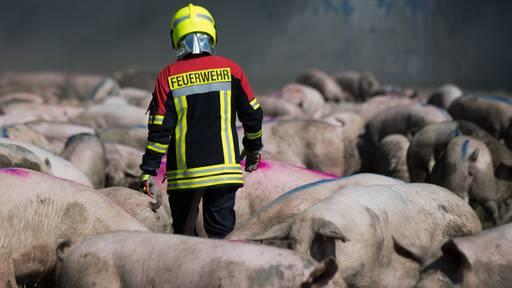Schweinezucht von Zentralschweizer Besitzer schon länger in Kritik