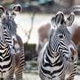 Das Grevyzebra ist das grösste der drei Zebra-Arten. Es hat runde Ohren und schlanke Streifen.