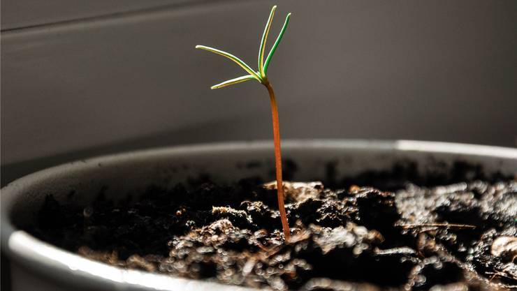 Für diesen kleinen Mammutbaum sucht das «Stadtbaum»-Team noch einen Namen.
