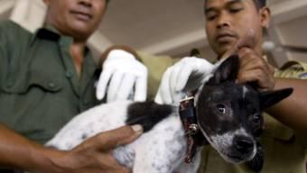 Das Impfen der Hunde verhindert Tollwut (Archiv)