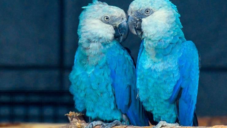 """Der Spix-Ara existiert nur noch in Gefangenschaft. In freier Wildbahn, gilt der aus dem Animationsfilm """"Rio"""" bekannte Vogel als ausgestorben. (Archivbild)"""