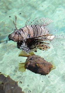 Der Igelfisch (unten) und der Feuerfisch sind zwei der 500 Arten, die im Vivarium des Zolli leben.