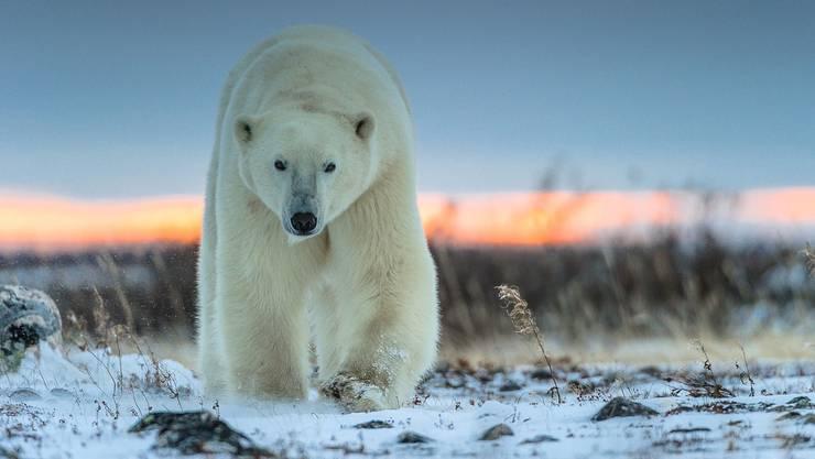 Mit einer Schulterhöhe von bis zu einem Meter sechzig sind Eisbären die grössten Landraubtiere der Welt.