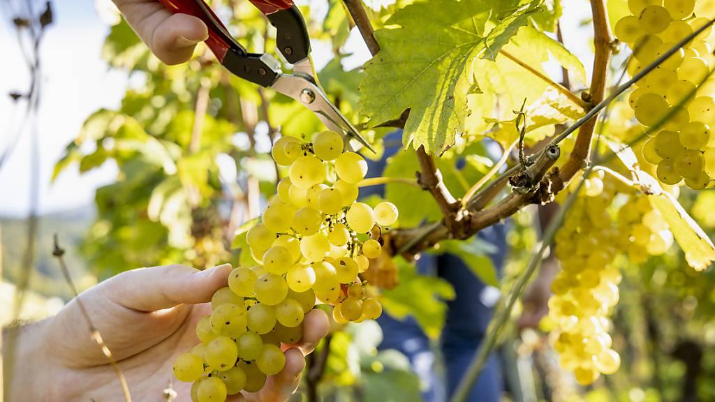 Trotz weniger Ertrag: Aargauer Winzer versöhnlich mit dem Weinjahr 2021
