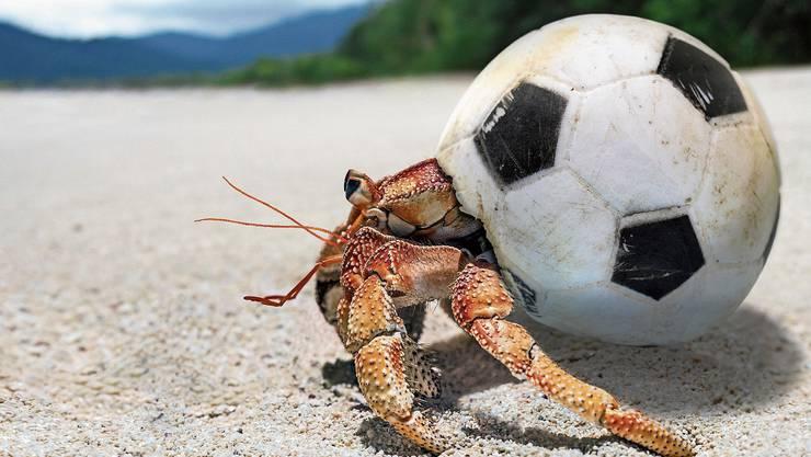 Ein Einsiedlerkrebs hat sich mit dem Zeitalter der Menschen arrangiert: Statt in einer Muschel wohnt er in einem Fussball. Bild: Paulo Oliveira/Alamy