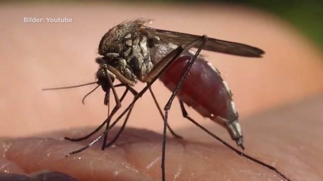 Plötzliche Mückenplage im Aargau