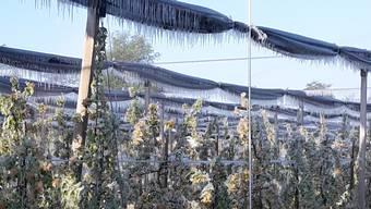 Für die Frostbekämpfung benutzte der Deitinger Bauer Daniel Stüdi nicht nur Frostkerzen, sondern auch eine umfunktionierte Bewässerungsanlage.