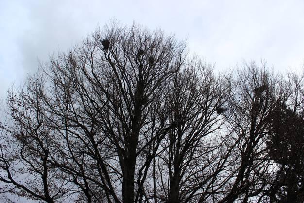 So sah es zuvor aus: Rund 20 Saatkrähen-Paare lassen sich jedes Frühjahr auf dem Baum nieder.