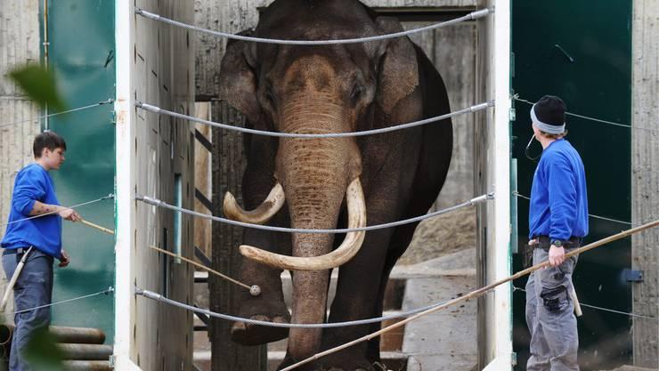 Tierpfleger des Zoo Zürich trainieren mit einem Elefanten im «protected contact» Vefahren.