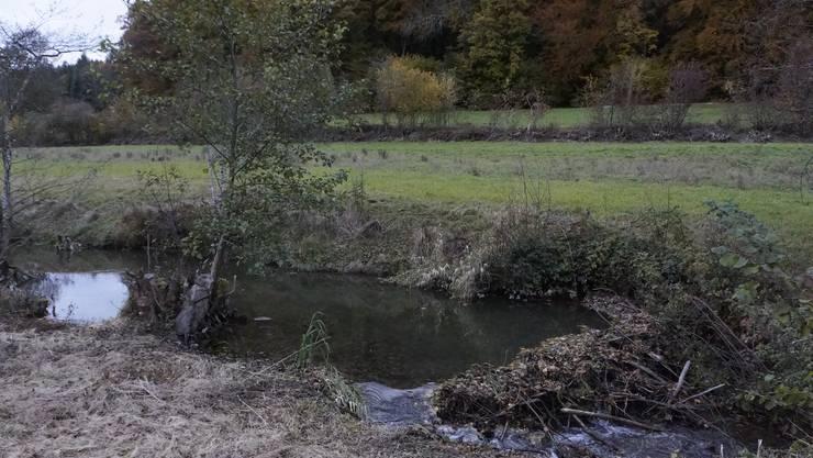 Biberschaden neben dem Mülibach in Buchegg. Hier wird der Schaden vom Landwirt akzeptiert.