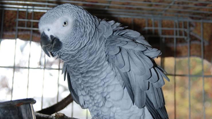 Ein Papagei hat es geschafft, per Sprachfernbedienung eine Bestellung bei Amazon aufzugeben. Ob er Vogelfutter bestellte, ist nicht bekannt. (Symbolbild)