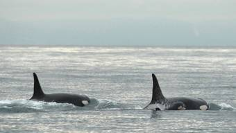 Zwei junge Orcas (Archiv)