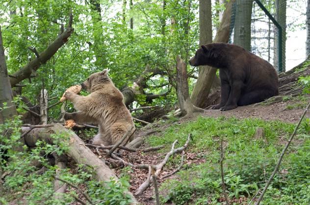 Emma (mit hellem Fell) und Max (mit dunklem Fell) im Bärenpark Worbis. (Aufnahme aus dem Jahr 2005)