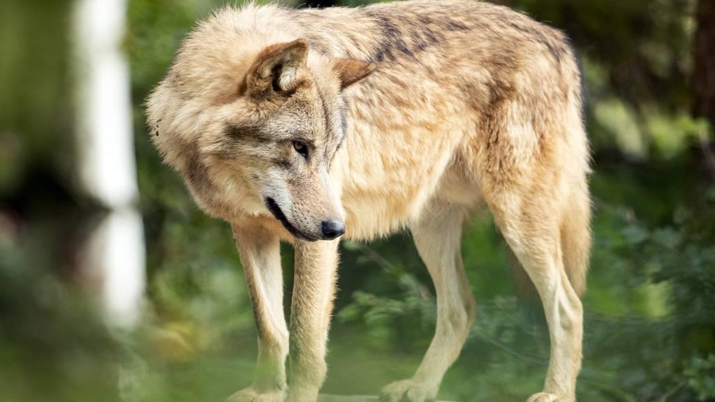 Tote Zwergziege in Appenzell – Jagdverwaltung vermutet Wolf