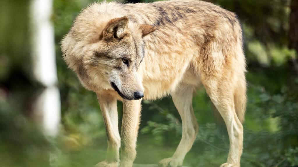 Es sei davon auszugehen, dass sich der Wolf noch im Gebiet aufhalte. (Symbolbild)