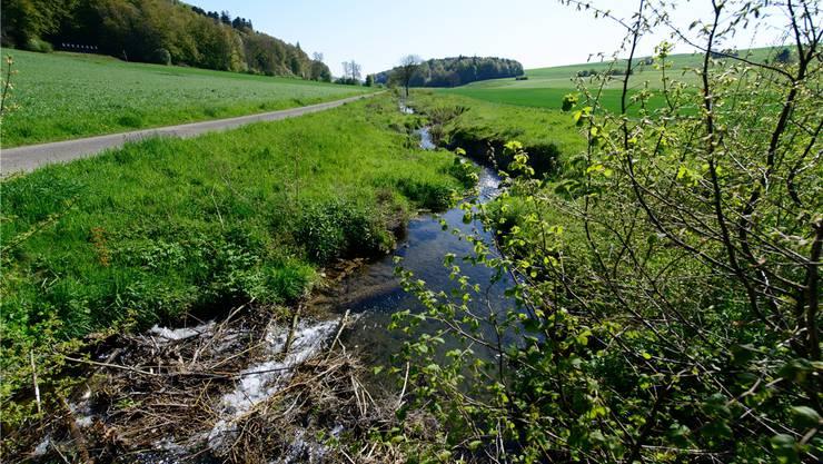 Sollen Bäche, wie der Biberenbach (im Bild), renaturiert werden?